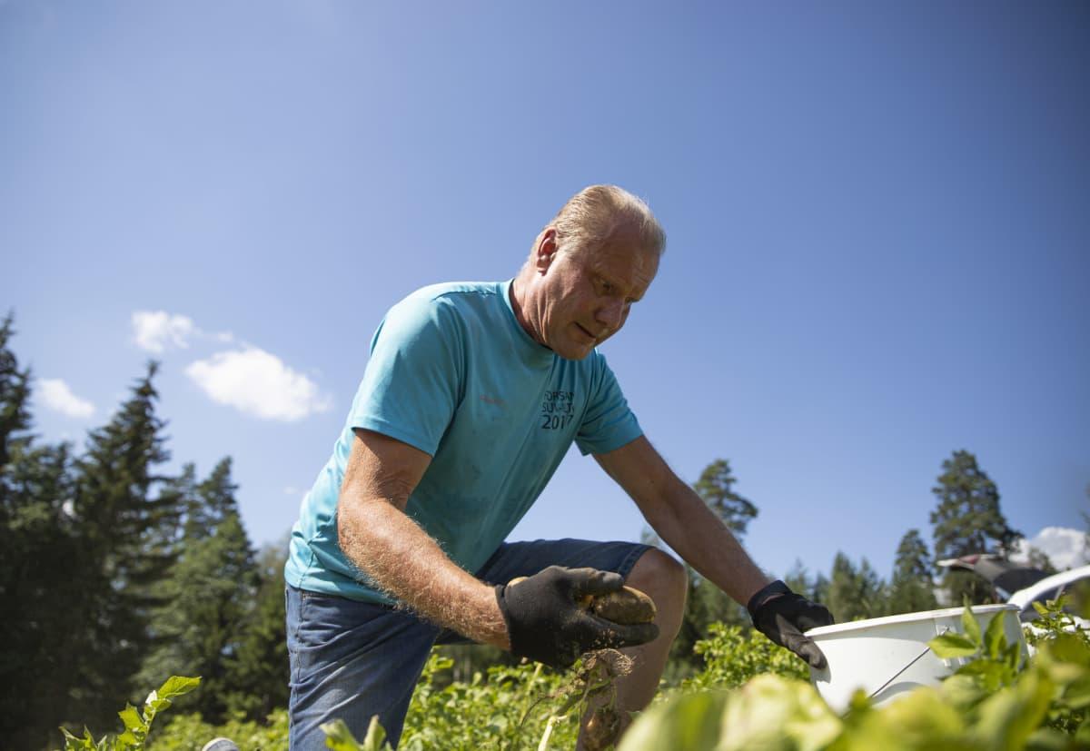 Perunanviljelijä Ilkka Karjala nostaa perunaa maasta pellolla Tammelassa.