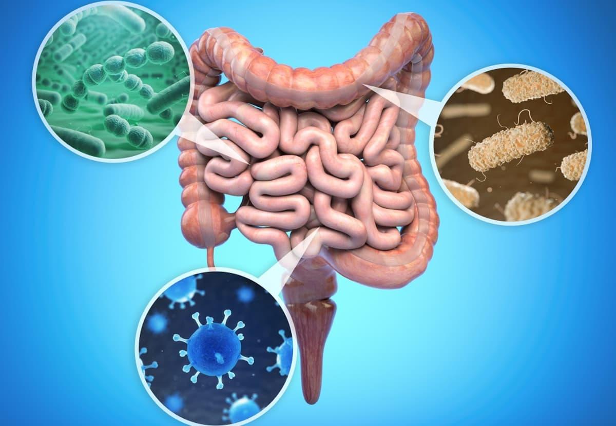 Piirroskuva suolistosta ja muutamista eri muotoisista mikrobeista.