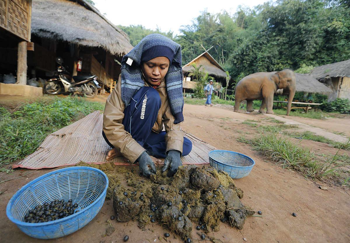 Työntekijä poimii Black Ivory -kahviin käytettäviä kahvipapuja norsun lannasta.