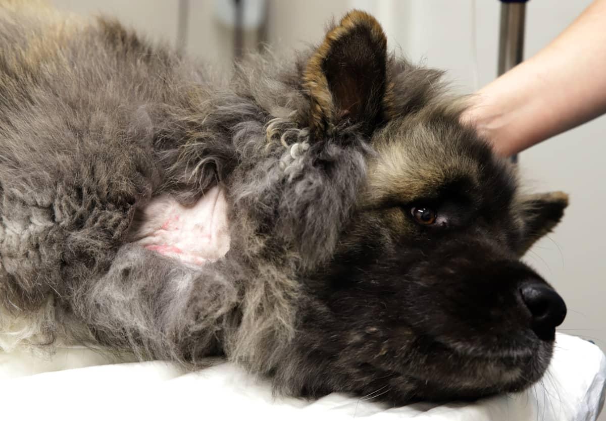 Amerikanakita Manu luovuttamassa verta eläinlääkärillä