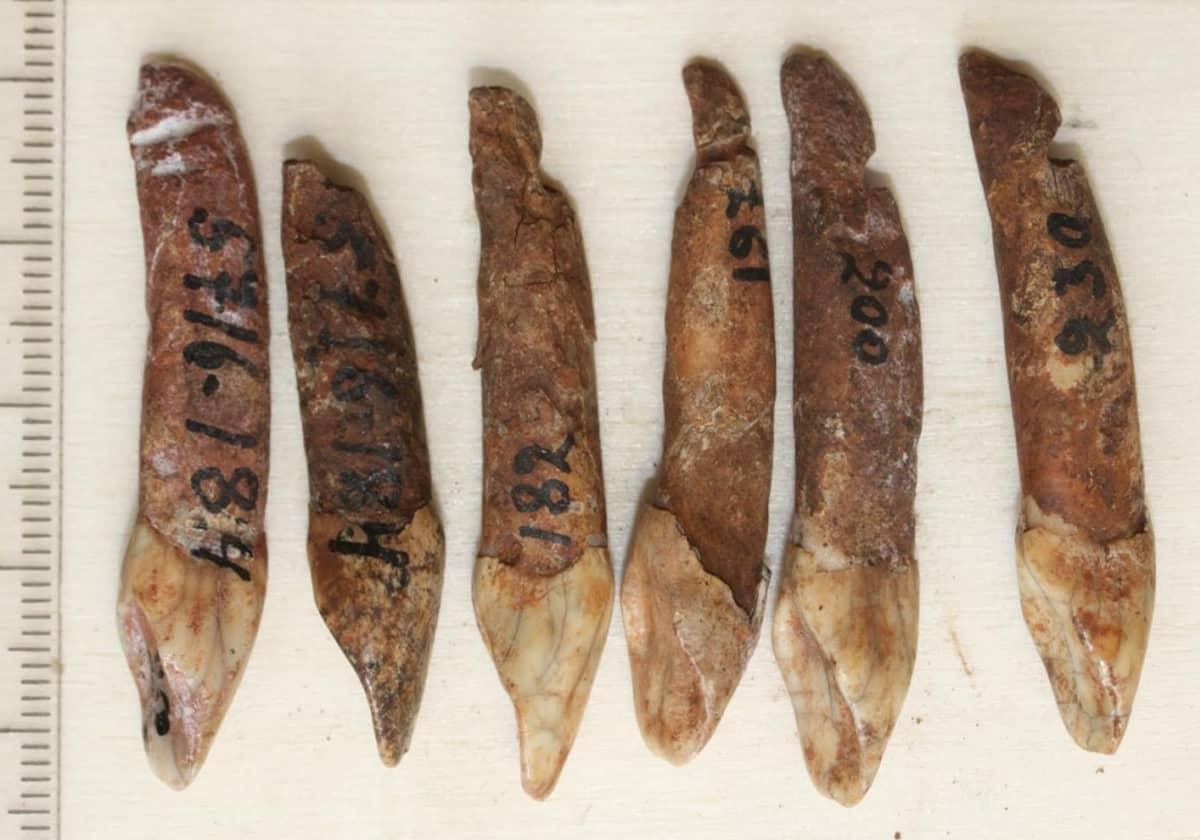Kuusi hirvenhammakorua, johin on kirjoitettu löytönumero.