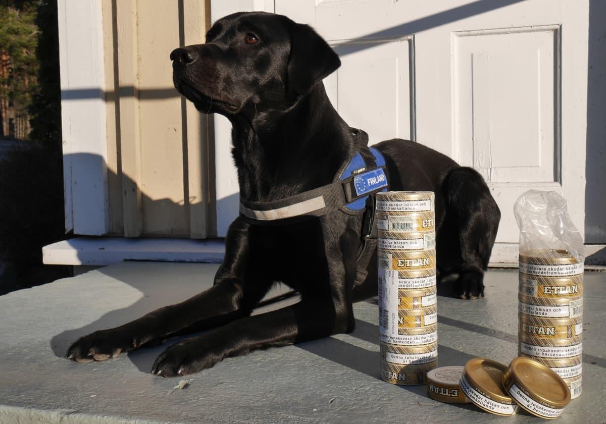 Musta labradorinnoutaja ja nuuskapurkkeja