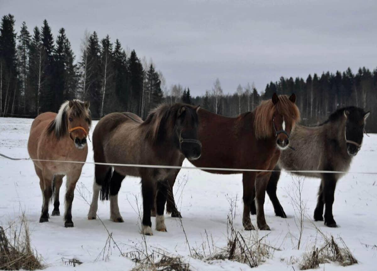 Neljä hevosta laitumella