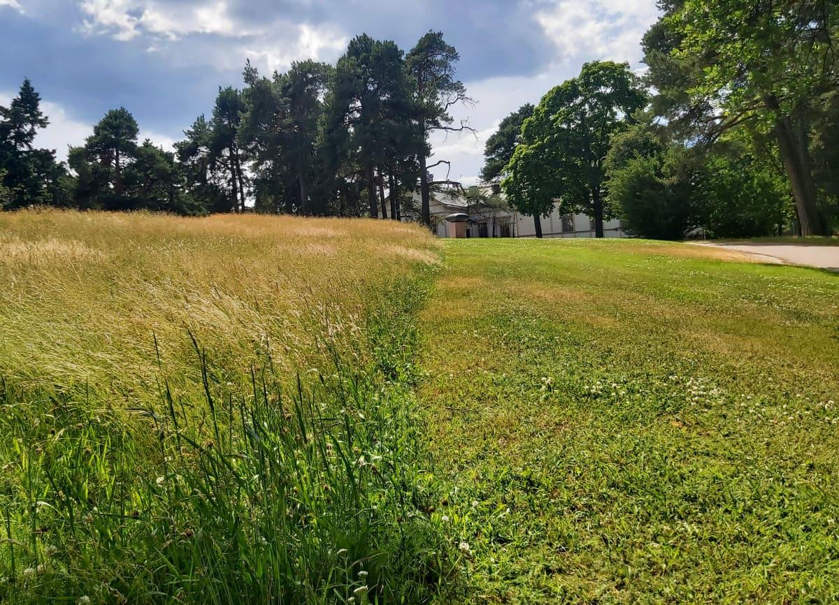 Isopuiston nurmikkoalue, jossa puolet on niitytetty eli heinää kasvaa.