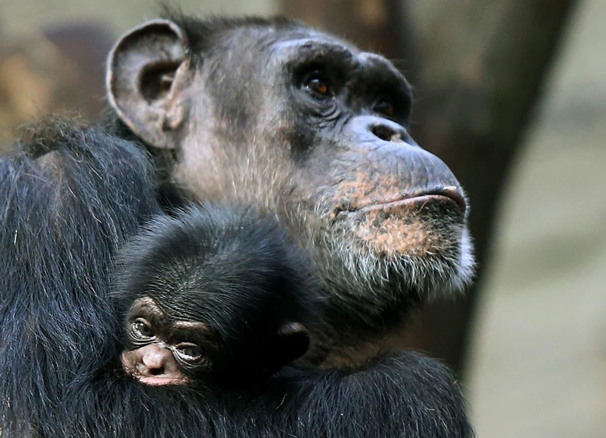 Simpanssiemo pienen poikasensa kanssa Varsovan eläintarhassa.