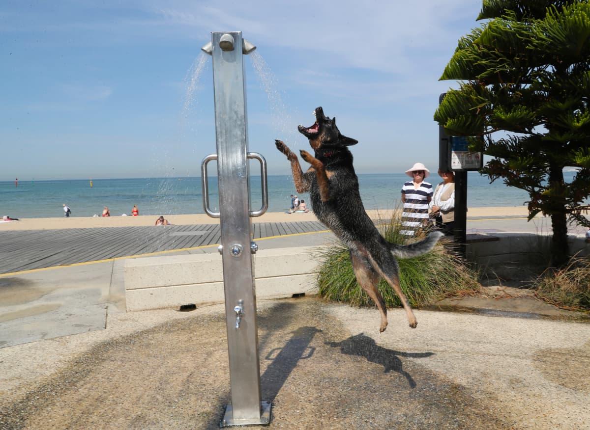 Koira vilvoittelee suihkun alla rannalla Melbournen lähellä.