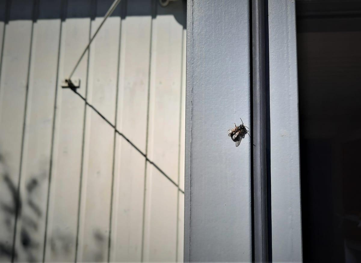Rusomuurarimehiläinen seinällä