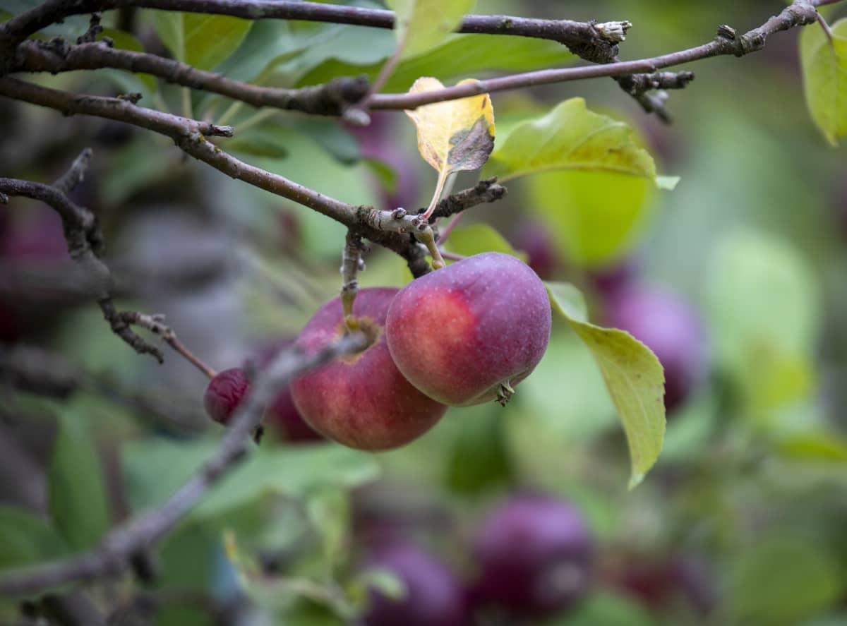 Holopaisen tilan omenapuita.