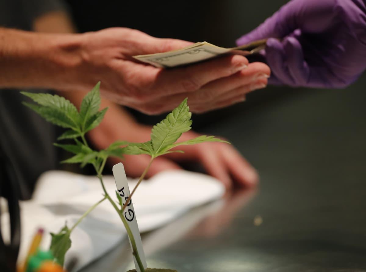 Kannabis-kasvin myyntitapahtuma Oaklandissa Kaliforniassa tammikuussa.