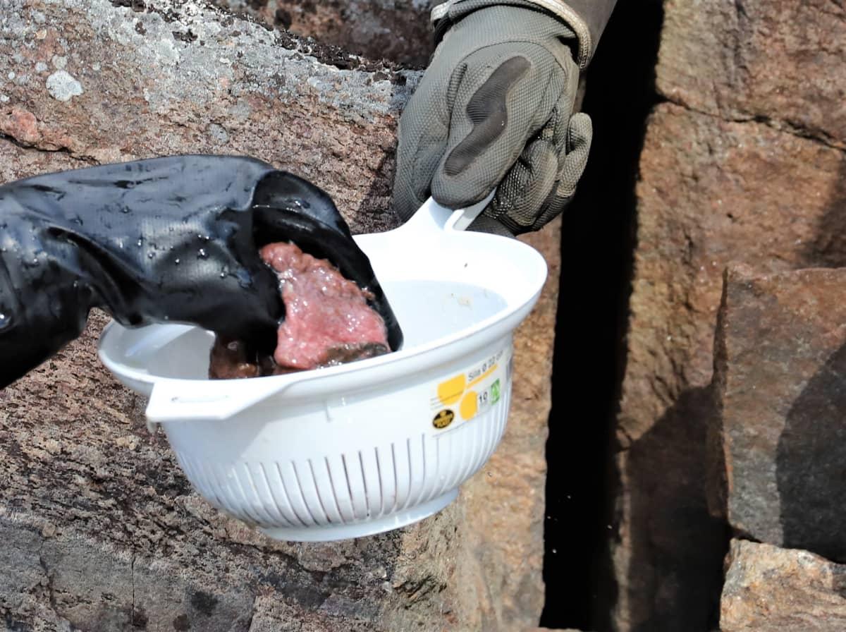 Sukeltaja nostaa vedestä löytämänsä saimaannorpan istukan siivilään.