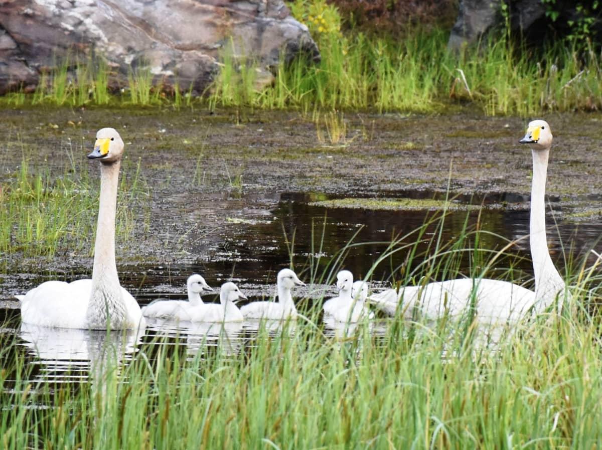 Laulujoutsenperhe: viisi poikasta, naaras ja uros kesäisellä järvellä.