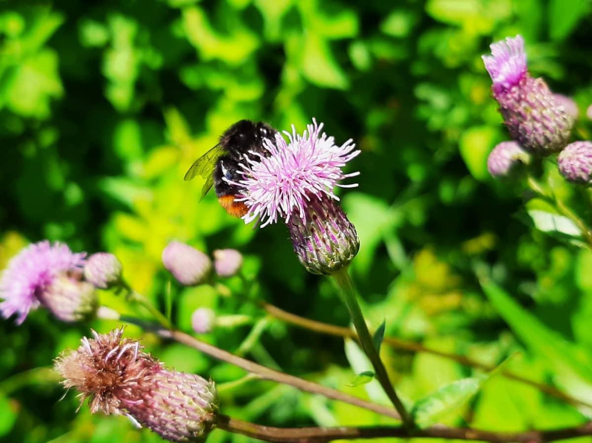 Kivikkokimalainen ohdakkeen kukassa.