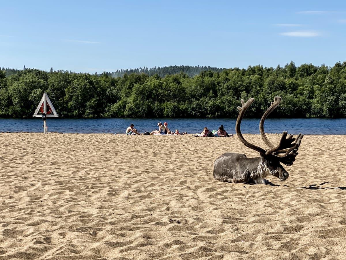 Poro loikoilee Ivalon uimarannalla heinäkuussa.