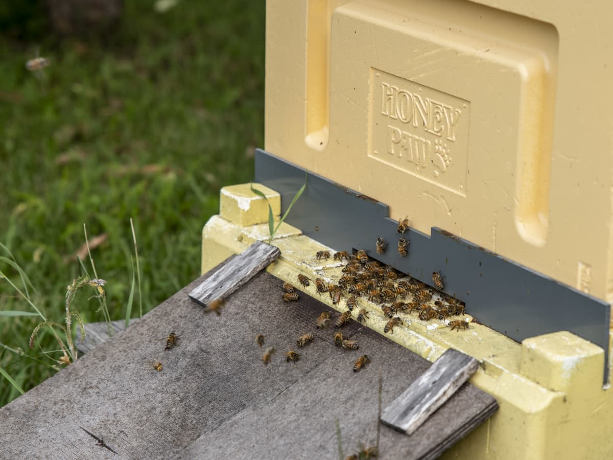 Mehiläisiä pesän lentoaukolla.