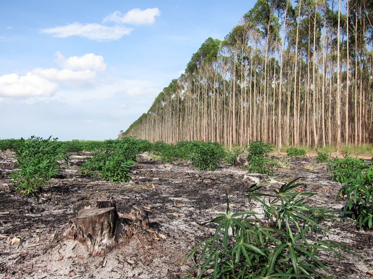 Eukalyptusviljelmä