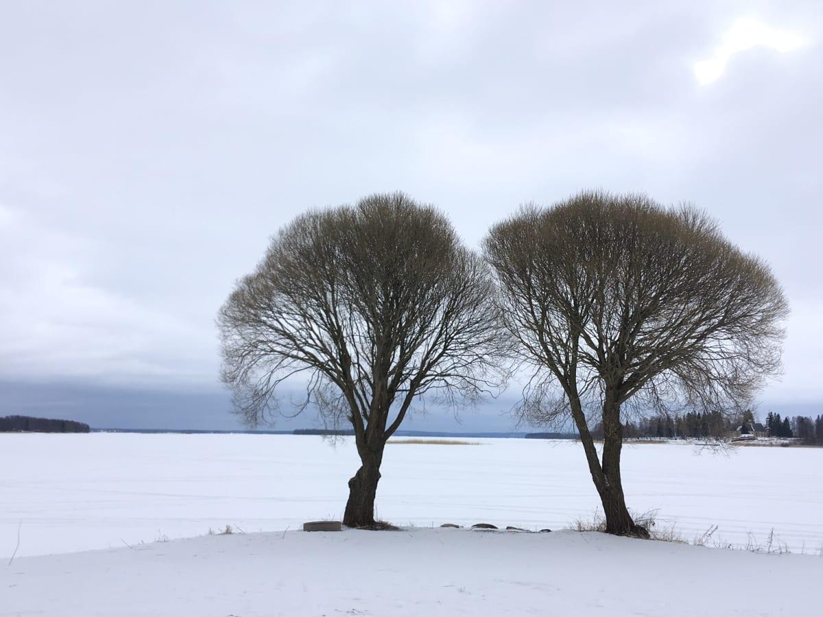 Kaksi puuta Lappajärven rannalla.