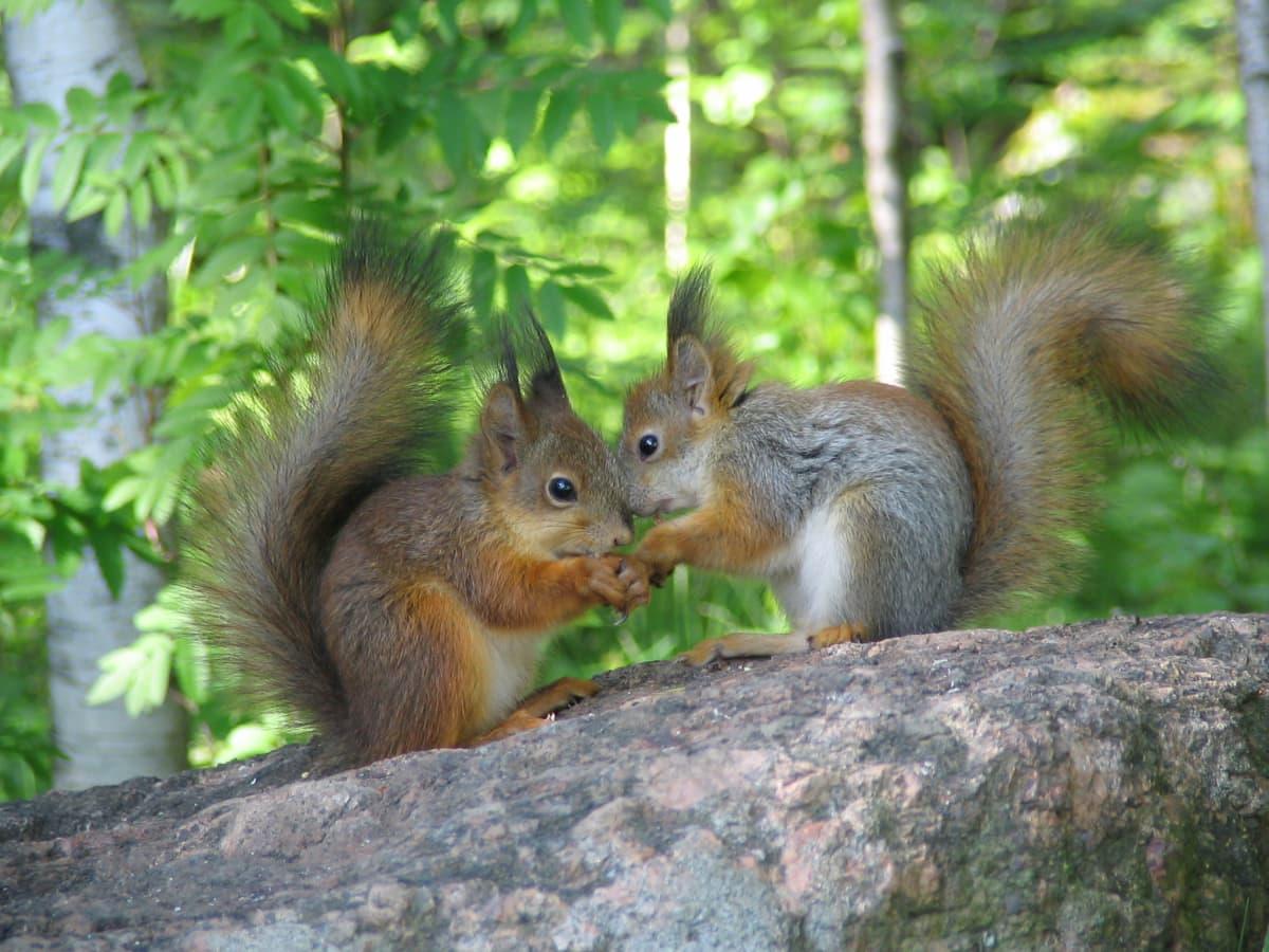 kaksi oravaa kivellä