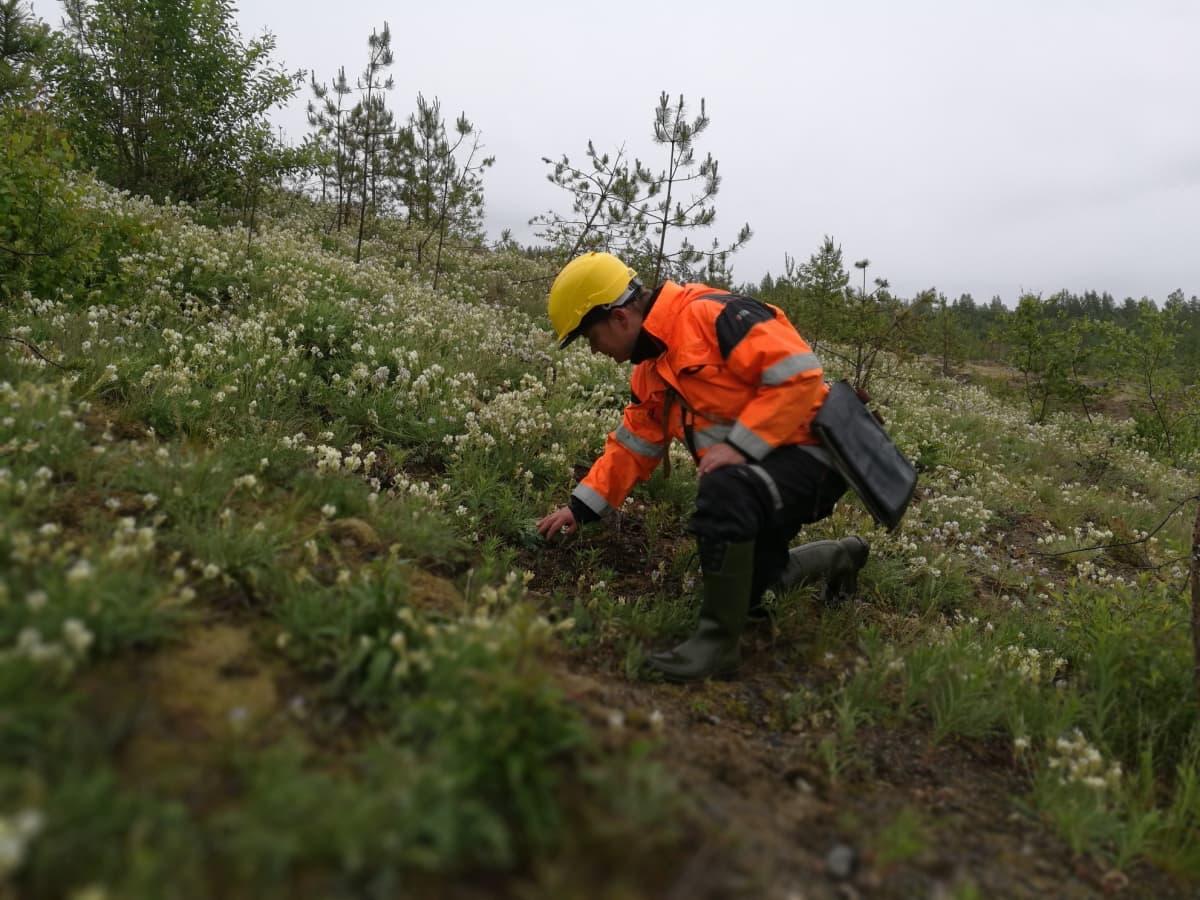 Antti Suontama tutkii kasvillisuutta.
