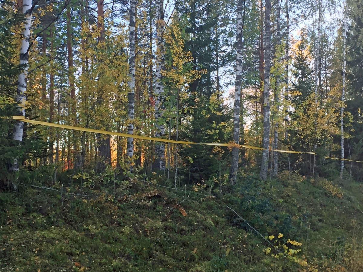 Kuvassa hirvinauhaa metsän reunassa.