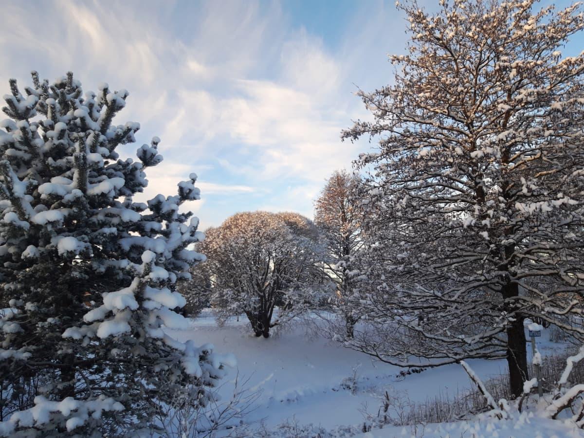 Lumisia puita kirkkaana pakkaspäivänä