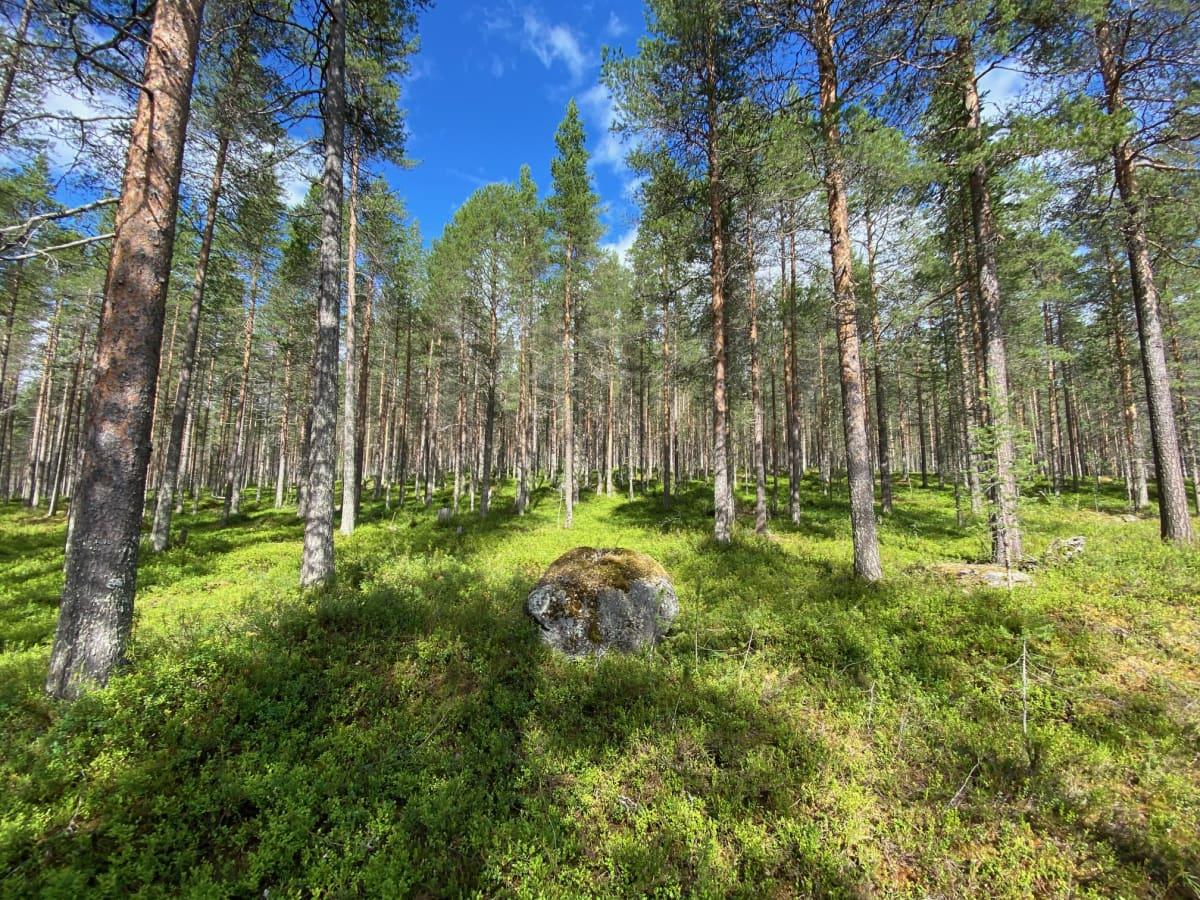 Ämmänvaaran ulkoilu- ja retkeilyalueen metsää, jonka Kemijärven kaupunki aikoo hakkauttaa.