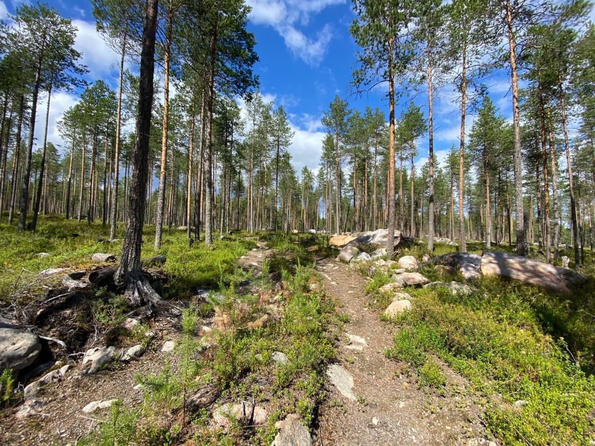 Lähes kymmenen vuotta vanha metsäkoneen jälki Ämmänvaarassa Metsä-Botnia Metsä Oy:n harvennushakkuusta.