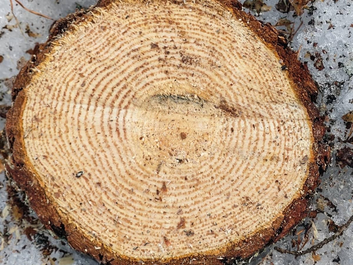 Puun vuosirenkaat
