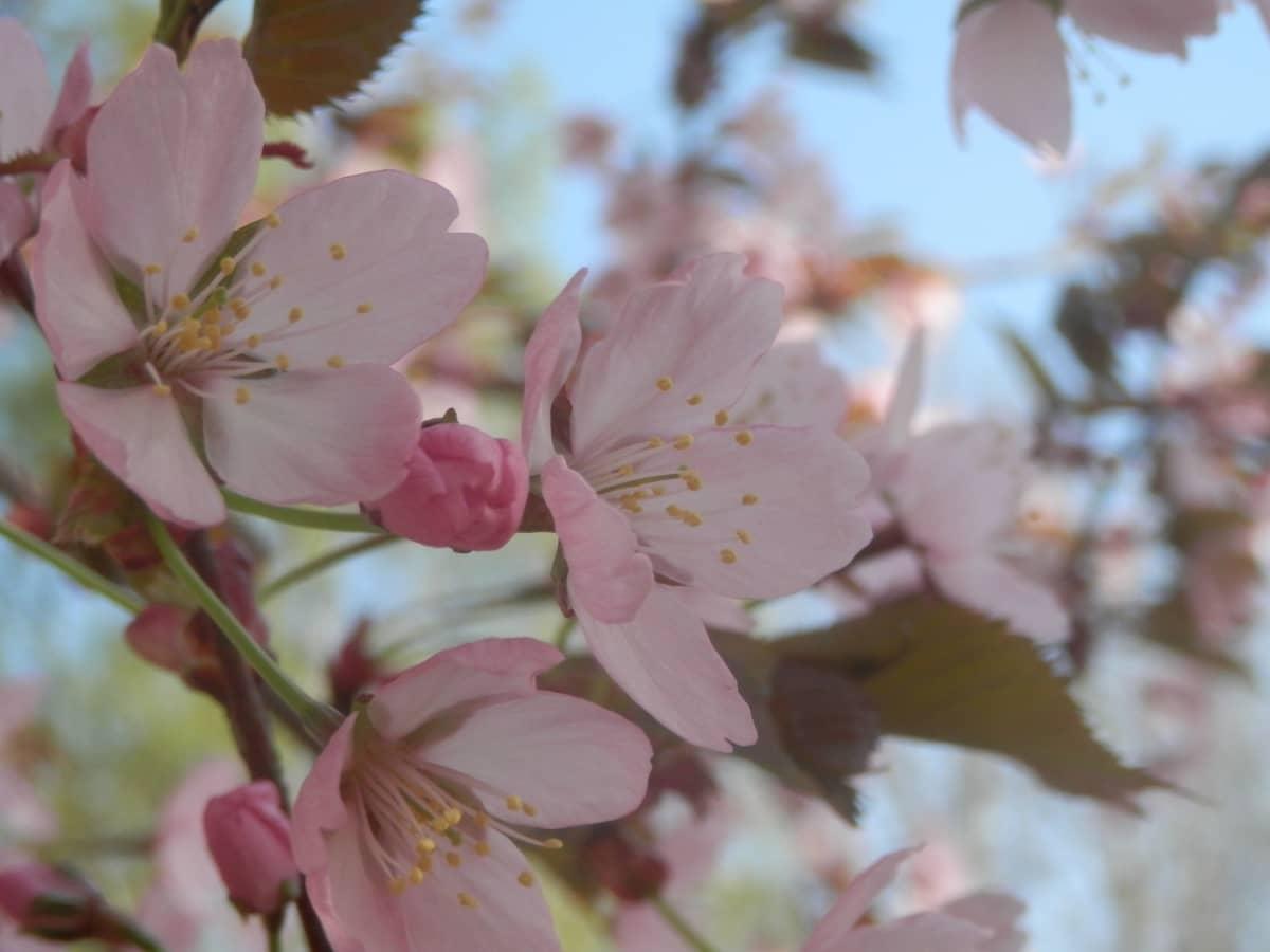 Kirsikkapuu kukkii.