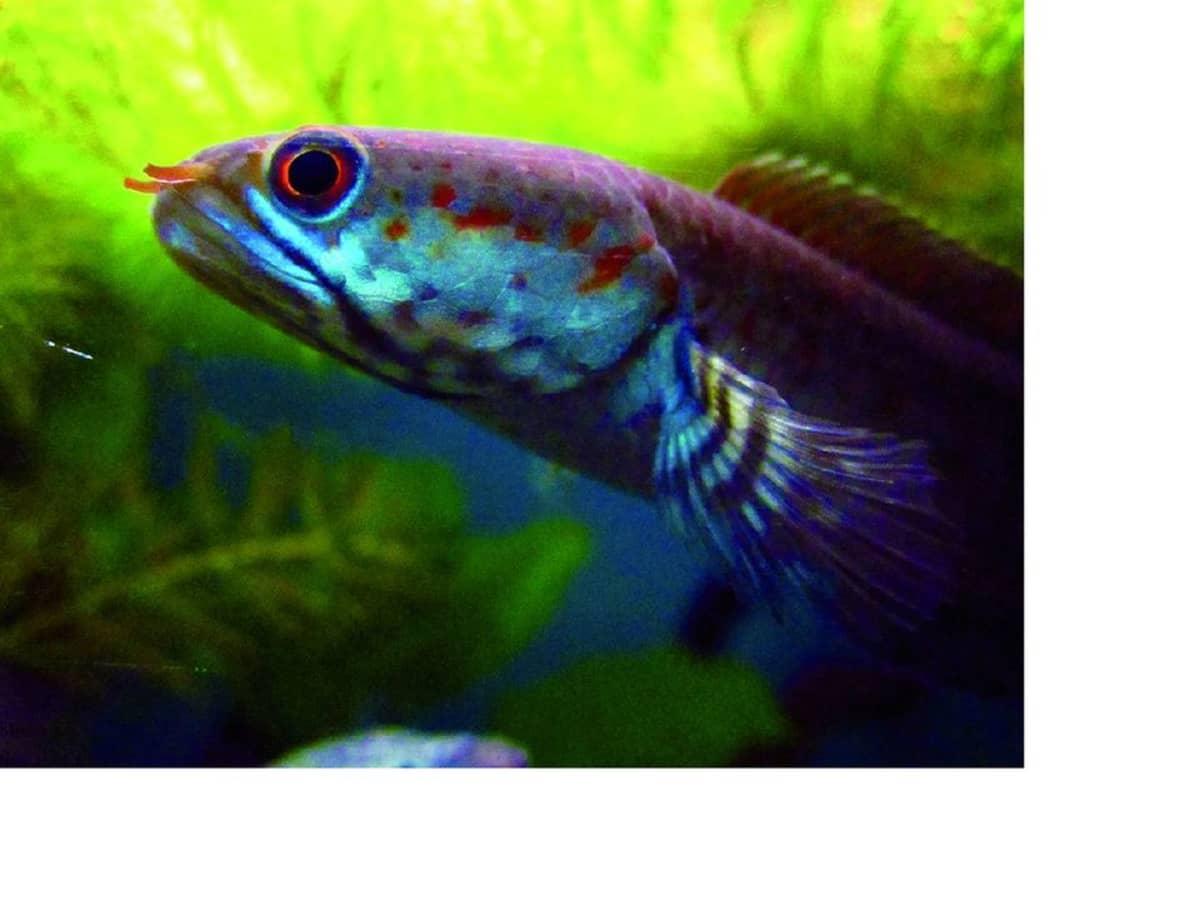 Kirkkaansininen kala, jolla on punaiset silmät