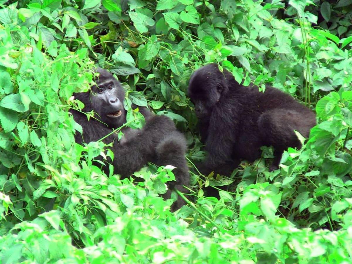 Suurempi ja pienempi gorilla pensaikossa.