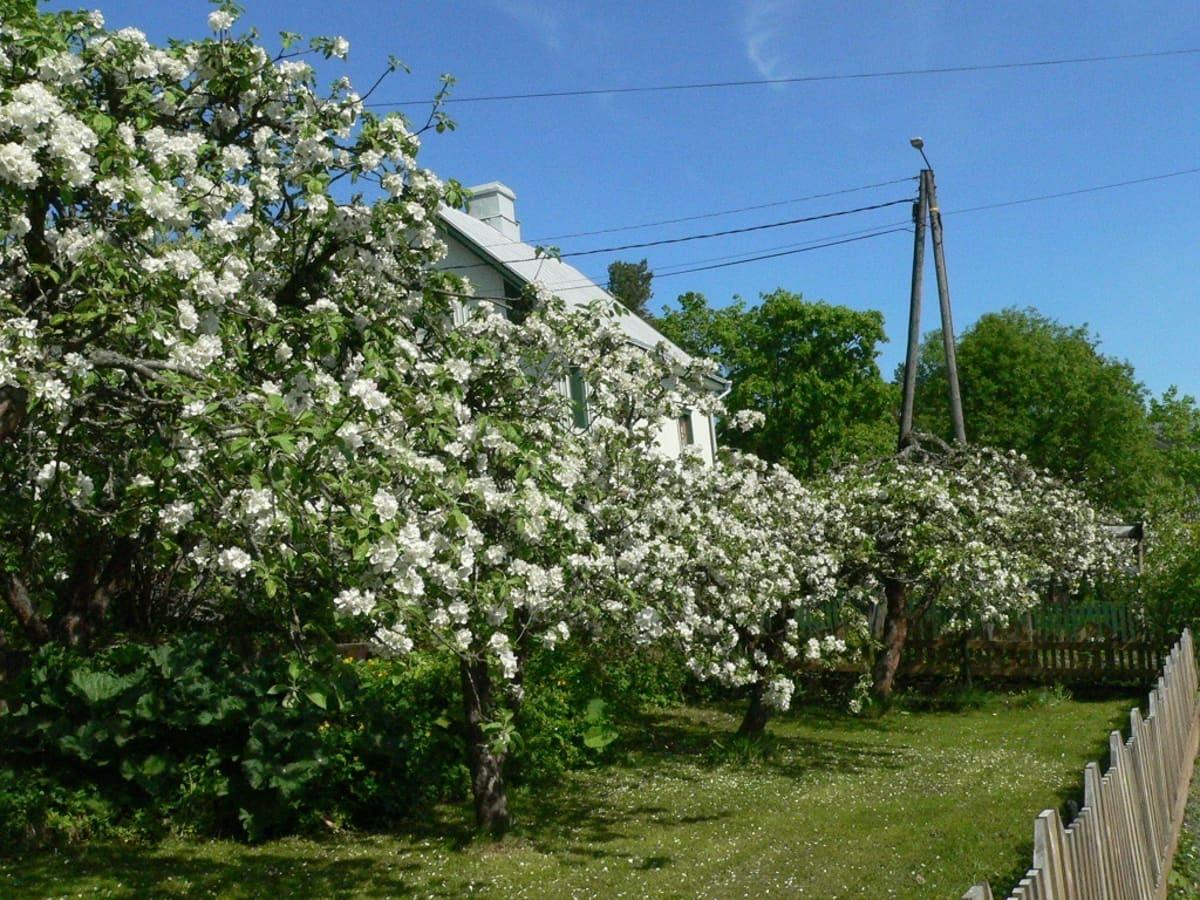 omenapuita kadunvarressa