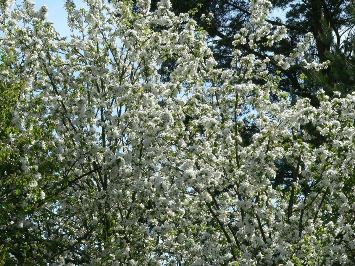 omenapuu, kukat
