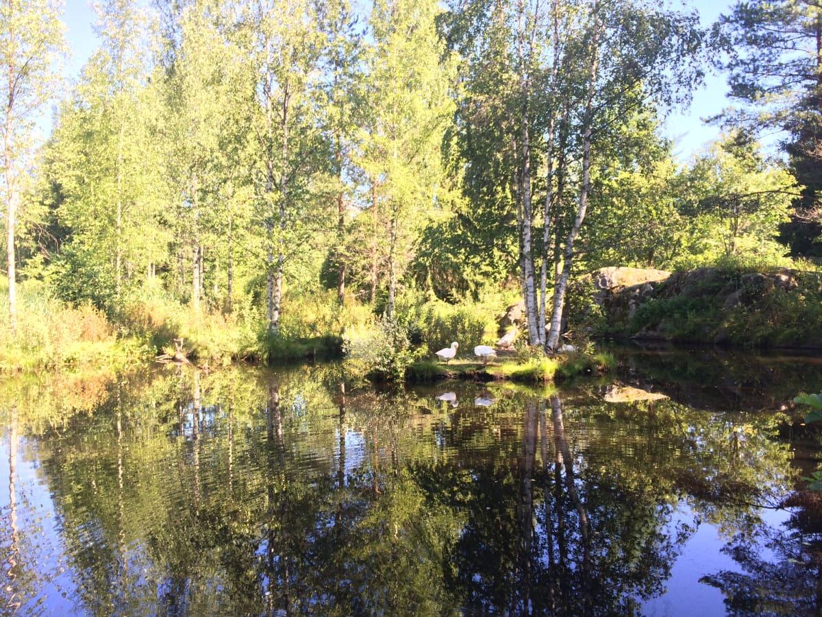 Anjan puistoon tulijoita tervehtivät ensimmäiseksi hanhet.