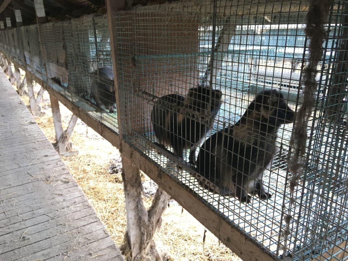 Supikoiria häkeissään turkistarhalla