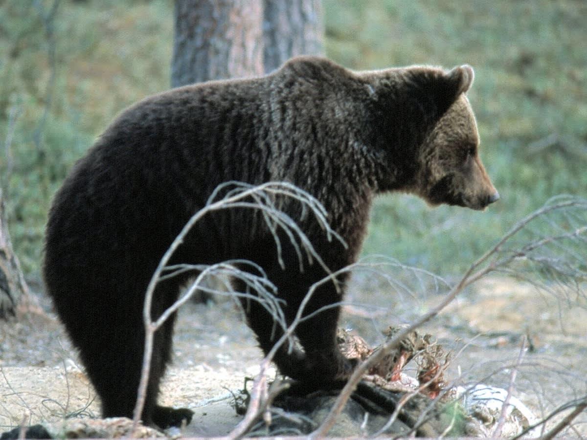 Karhu istuu kivellä