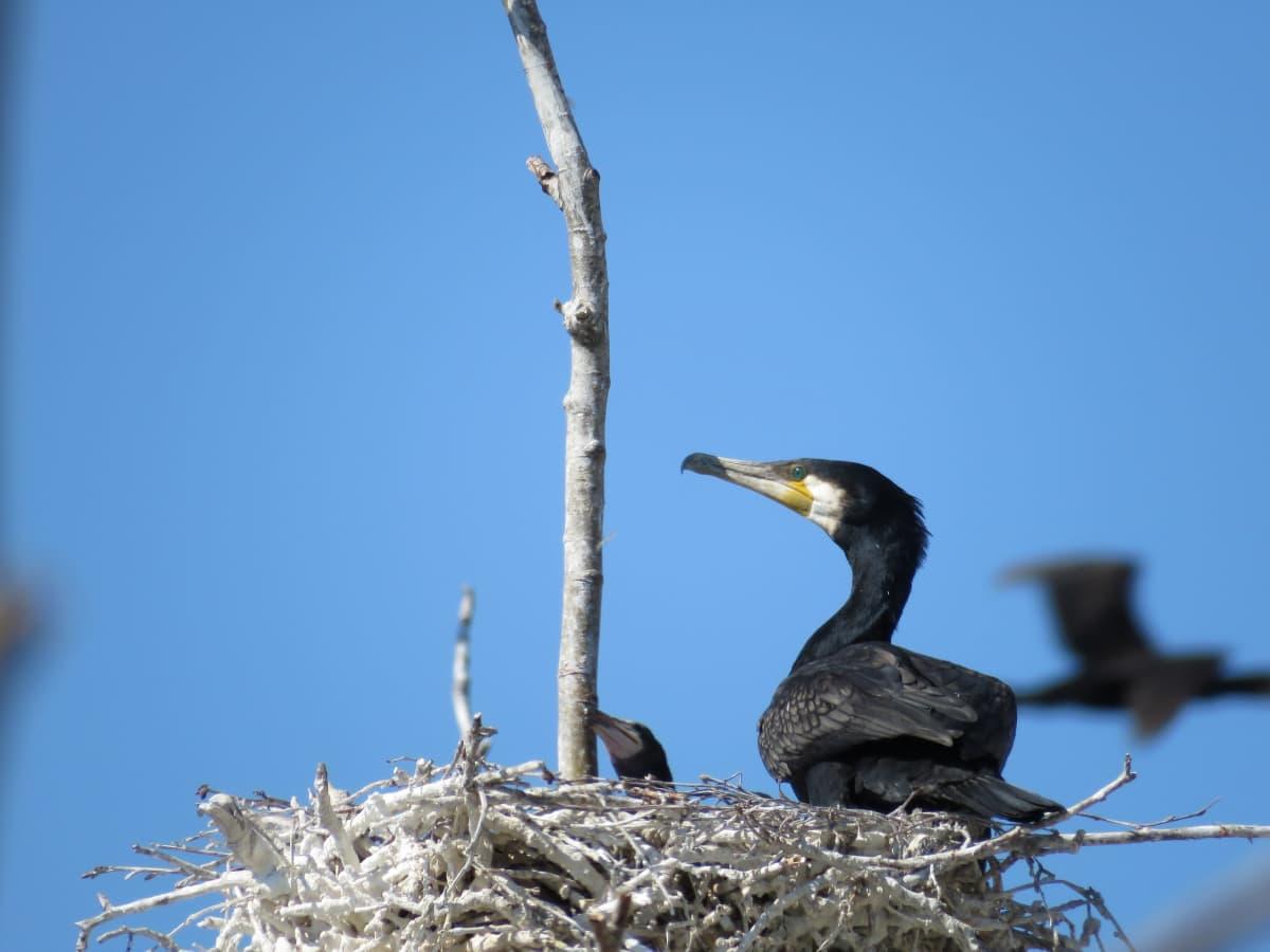 Merimetso poikasensa kanssa pesässä Vaasan saaristossa.