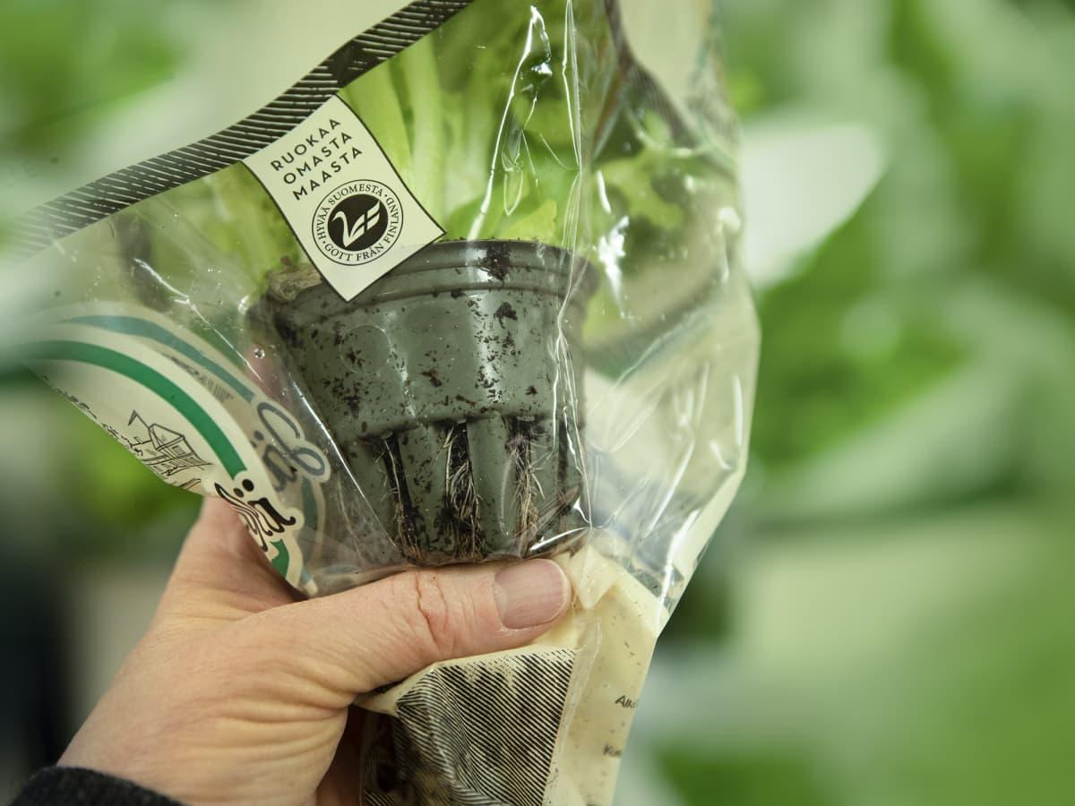 Kotimaisen salaatin ruukussa on kasvuturvetta
