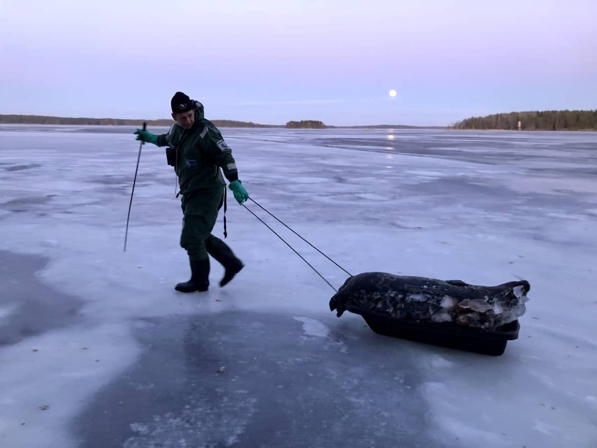 Mies vetää kuollutta norppaa pulkassa jäällä.