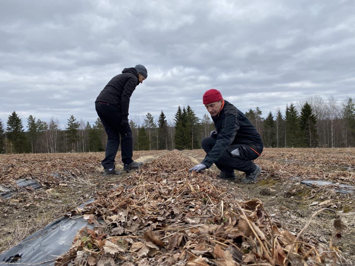 Laitiset tarkistavat, millaisessa kunnossa mansikkapelto on talven jälkeen.