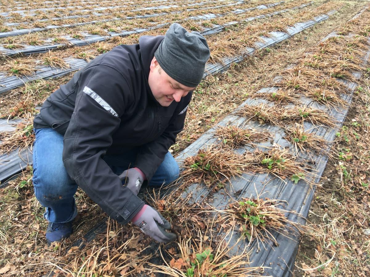 Marjatilan isäntä Jussi Kirmanen tutkii mansikkapenkkiä.