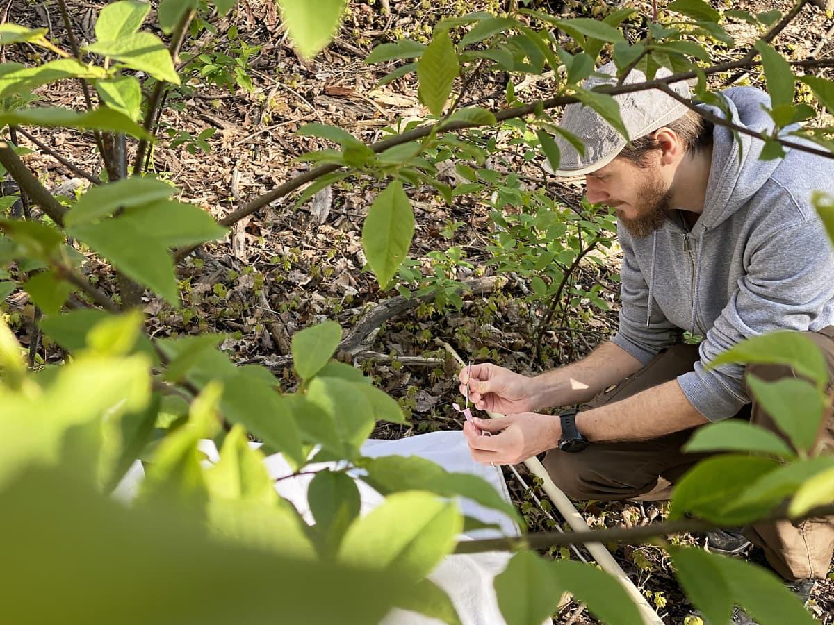 Puutiaistutkija Jani Sormunen kerää punkkeja metsässä Turussa.