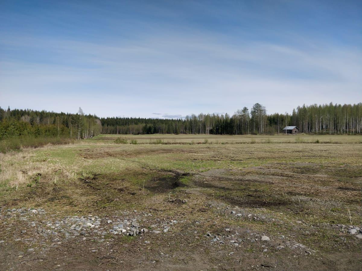 Keväinen nurmirehupelto valkoposkihanhiparven vierailun jälkeen.