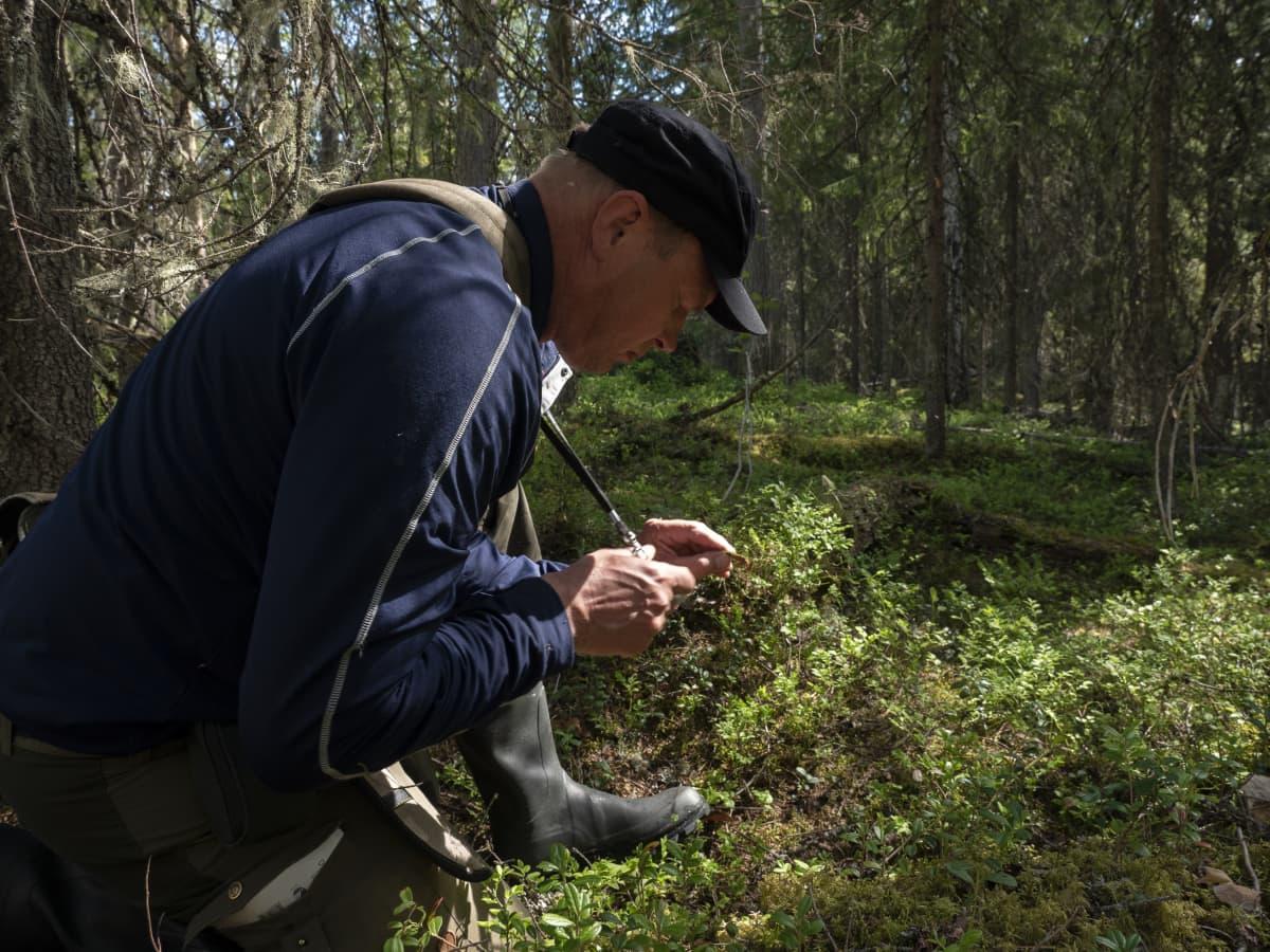 Metsähallituksen luontopalveluiden luontokartoittaja Timo Kypärä tutkii sammalia.