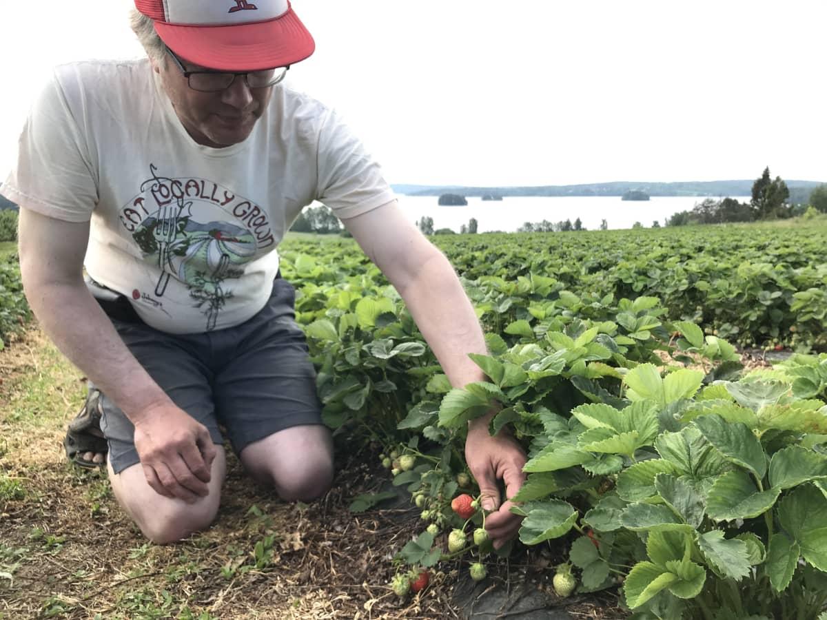 Tommi Yrjölä mansikkamaalla