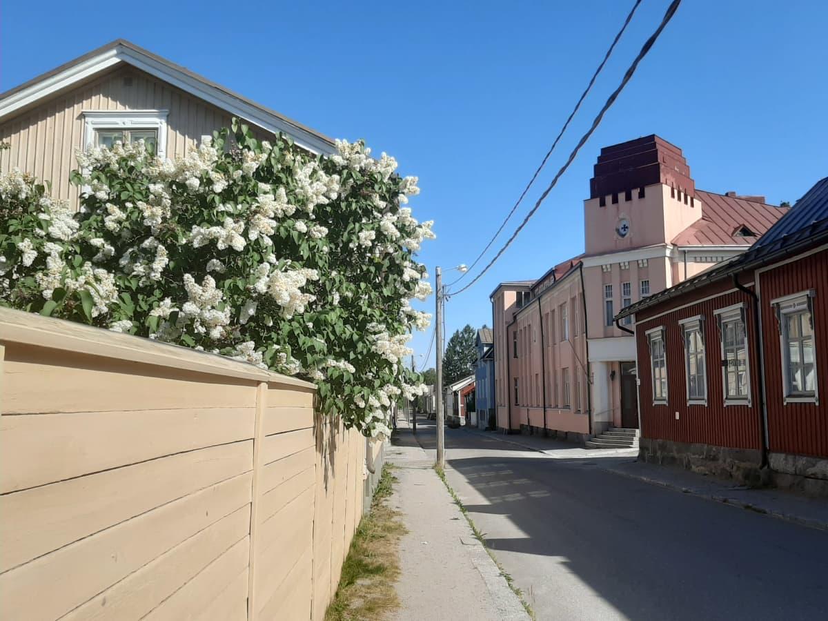 Gata med vita syrener, staket och rött hus.