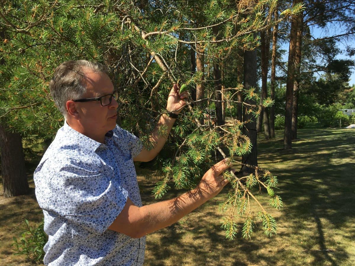 Metsäkeskuksen asiantuntija Antti Pajula tutkii mäntyjen tuholaisia.