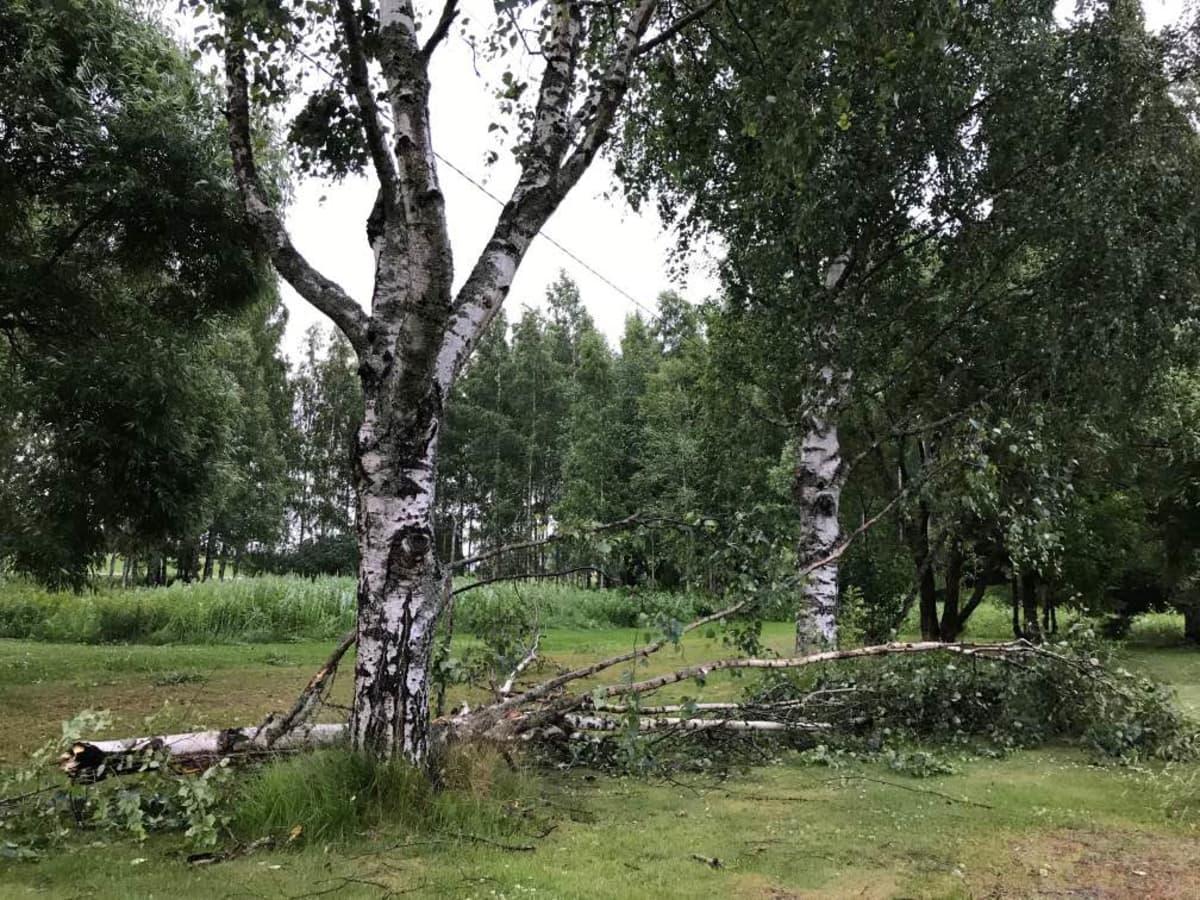 puu kaatui