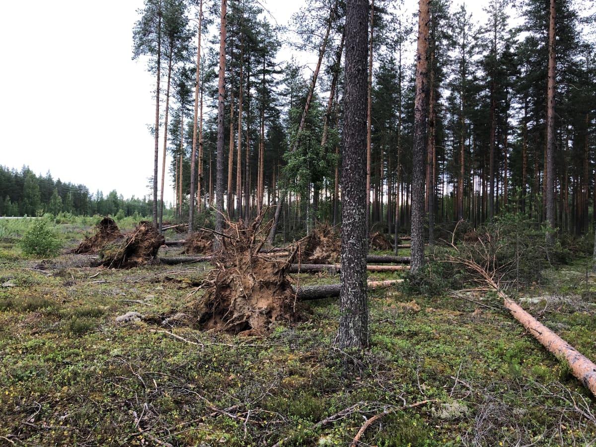 Päivö-myrsky pisti mäntyjä nurin Liperissä.
