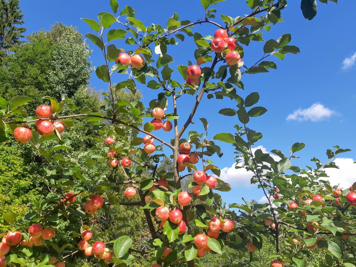punaisia omenoita omenapuussa aurinkoisena päivänä