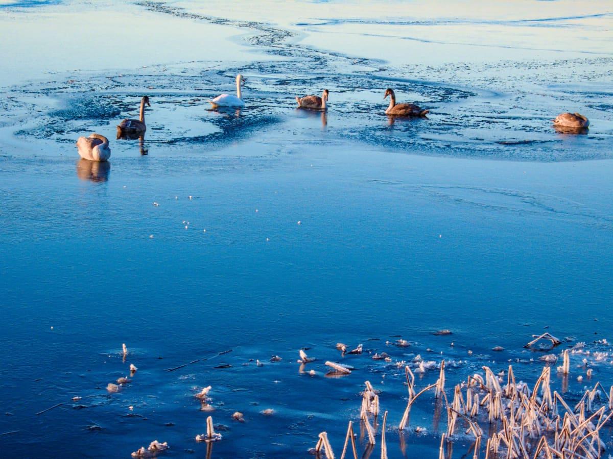 Kyhmyjoutsenia jäisessä vedessä.
